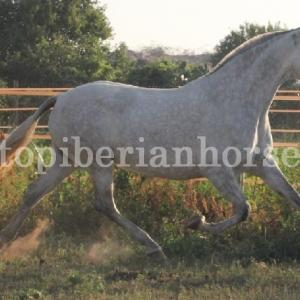 http://www.topandalusianhorses.com/wp-content/uploads/2013/09/CODE-646-FOTOS-2-wpcf_300x300.jpg