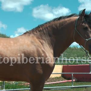 http://www.topandalusianhorses.com/wp-content/uploads/2013/09/CODE-903-FOTOS-19-wpcf_300x300.jpg